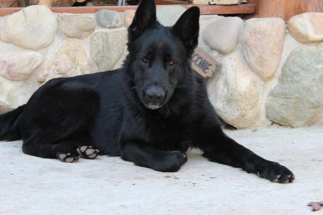 Solid Black German Shepherd, puppies for sale Michigan